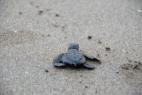 Surfing Turtle Lodge: releasing baby turtle