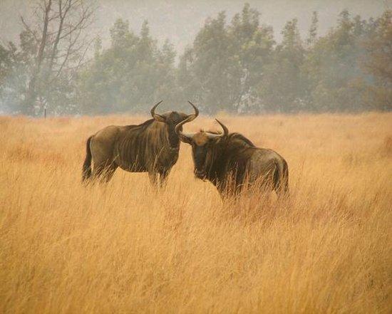 Bateleur Nature Reserve: Curious Gnus