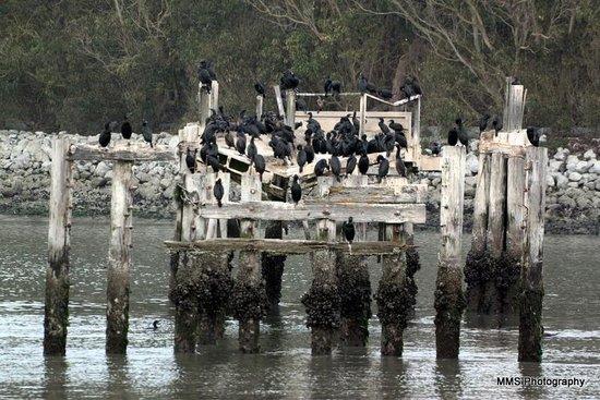 Moss Landing State Beach: Cormorants