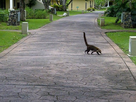 The Westin Golf Resort & Spa, Playa Conchal: Melinche's - these cute little animals