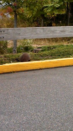 Comfort Suites: Groundhog Neighbor.  Friendly from a distance