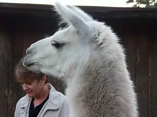 Cobbler's Walk Mendocino: Llamas are fun