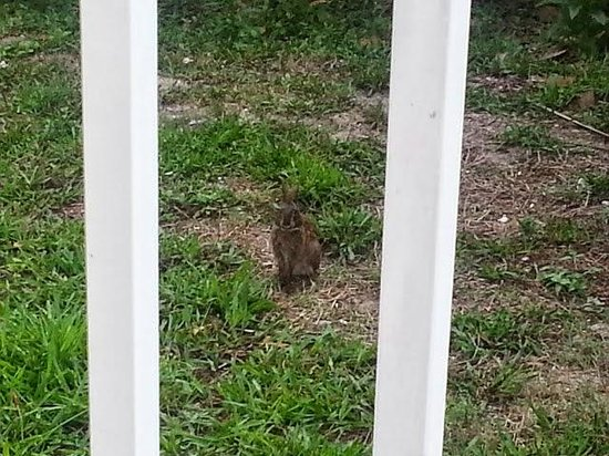Capt Hiram's Resort : balcony breakfast bunny buddy--no fear!