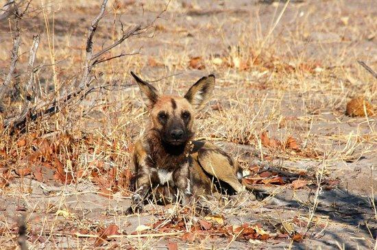 Wilderness Safaris Savuti Camp : Wild dog