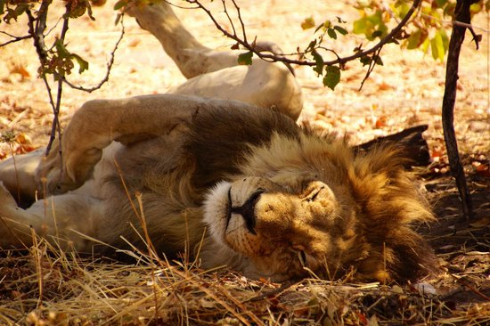 Wilderness Safaris Savuti Camp : Lion napping by the air strip