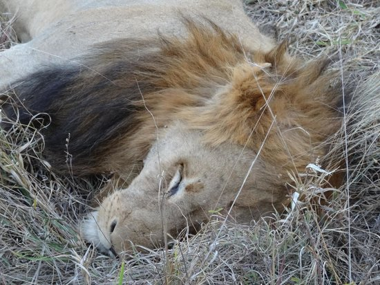 Notten's Bush Camp: a sleeping lion