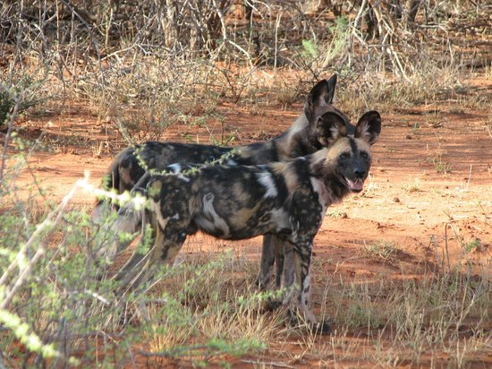 Mosetlha Bush Camp & Eco Lodge : Wild dogs