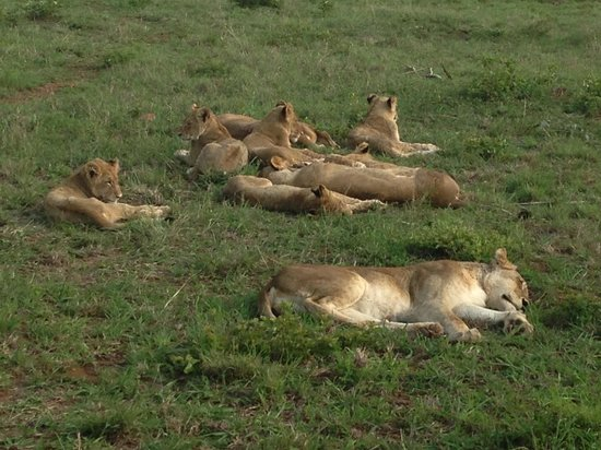 Idube Private Game Reserve Lodge: Lionesses and cubs