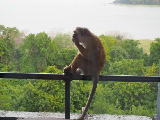 Heritance Kandalama: Cheeky macaques frequently check balconies for food