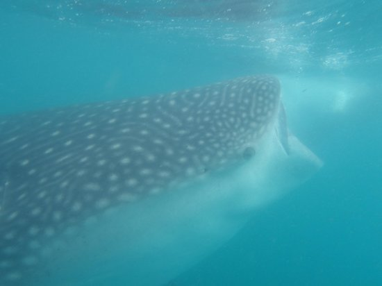 Marlin Adventures : Unforgetable Whale Shark trip