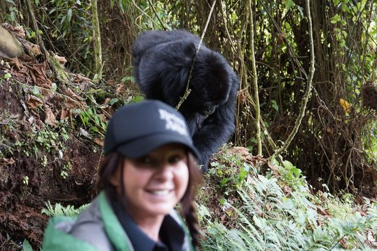 Sabyinyo Silverback Lodge: The gorillas come so close and the young ones play around near your feet