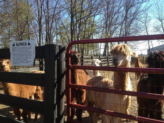 1851 Historic Maple Hill Manor Bed & Breakfast: Alpacas & Llamas