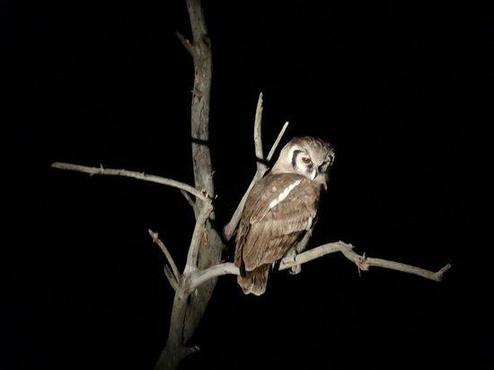 Tintswalo Safari Lodge : An owl that we saw during a night drive