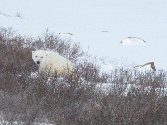 Classic Canadian Tours Polar Bear Safari: Peak-a-Boo