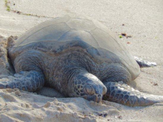 Aqua Pacific Monarch: Sea turtle North Shore
