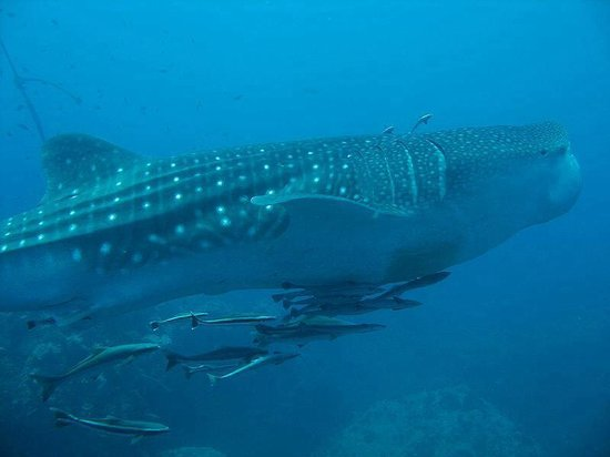 Bophut Diving Tours: We love seeing these beauties