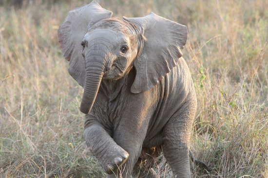 Little Governors' Camp : Baby Elephant seen on the Mara