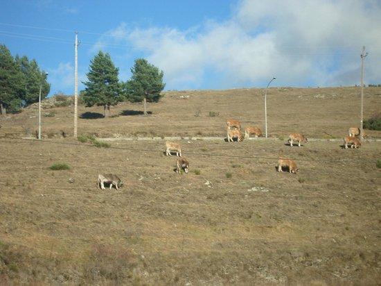 Apartaments Gran Vall : Vacas pastando