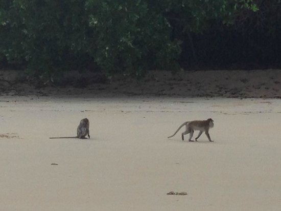The Andaman, A Luxury Collection Resort : Monkey on the beach