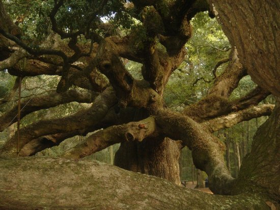 Angel Oak Tree : il chuchote des trucs