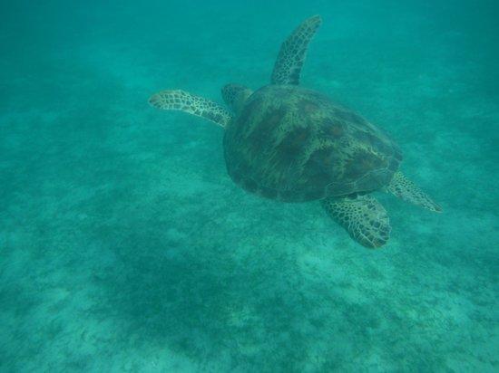 Pandan Island Resort: En snorkeling... Voici la tortue !