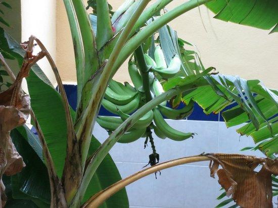 Hotel LunaSol : Бананы под балконом