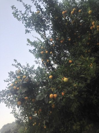 La Gazelle d'Or: Some citrus fruits around the grounds