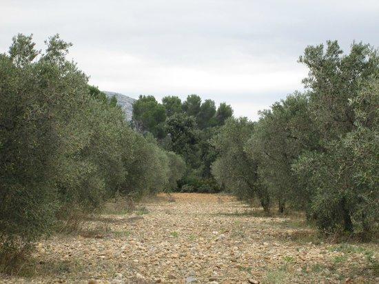 La Vigueirado : L'oliveraie