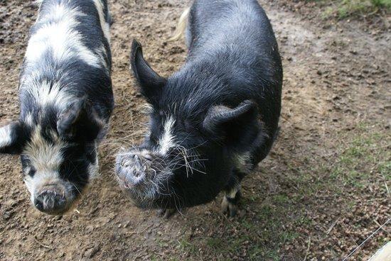 Domaine du Martinaa: les cochons