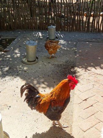 Kiripotib Guest Farm: free range fowl