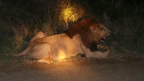 Bushwise Safaris: roadside lion on Bushwise safari