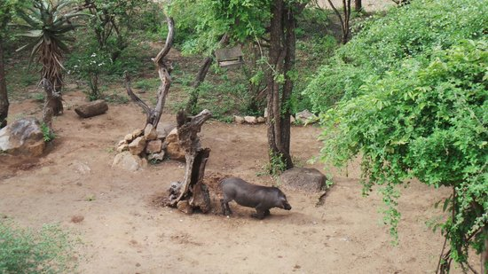 Bushwise Safaris : friendly warthog on lodge grounds