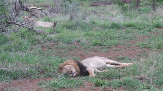 Bushwise Safaris : lions on Bushwise safari
