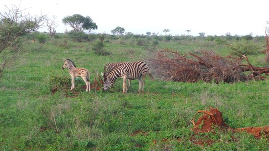 Bushwise Safaris : zebra babies on Bushwise safari