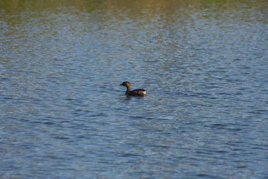 Blue Hole: Pied-billed Grebe from afar
