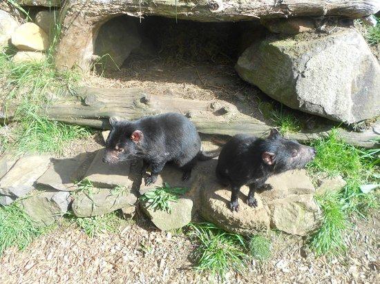 Tasmanian Devil Unzoo : two little devils