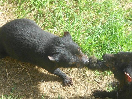 Tasmanian Devil Unzoo : gently sharing their food