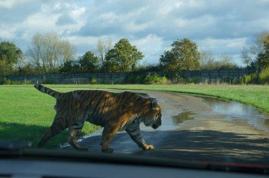 Planète Sauvage: Quand un tigre traverse devant vous...