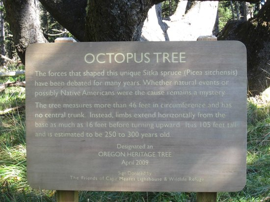 "Cape Meares Lighthouse and Wildlife Refuge: About the ""octopus"" tree"