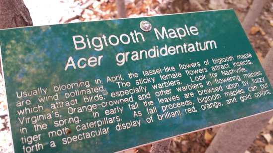 Ramsey Canyon Preserve: Info about Bigtooth Maples