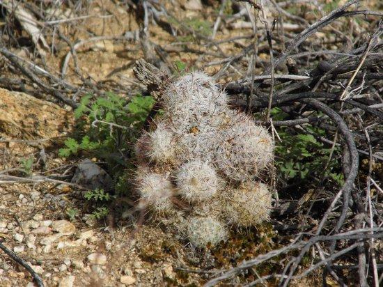 Pima Canyon: New cacti.