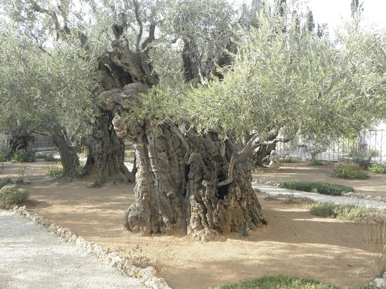 In the garden of gethsemane picture of garden of for Age olive trees garden gethsemane