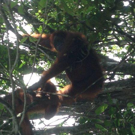 Matang Wildlife Centre: co prawda w porze karmienia ( rano ) nie przyszły ale w drodze powrotnej spotkaliśmy mamę z dzie