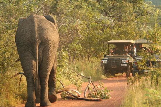 Makweti Safari Lodge: Traffic jam Makweti style