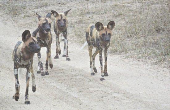 Ulusaba Safari Lodge: Wild Dogs