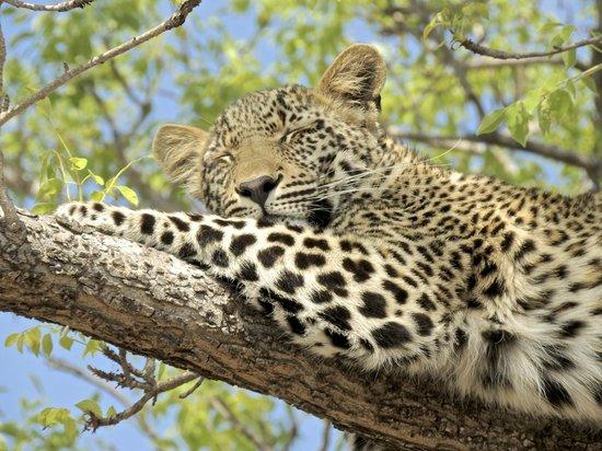 Ulusaba Safari Lodge: Leopard