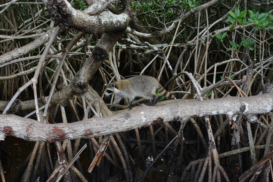 Everglades City Airboat Tours: racoon friends