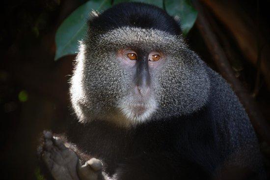 Sanctuary Olonana: Blue Vervet monkey, up close and personal