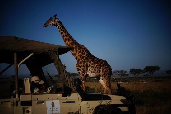 Sanctuary Olonana: On Safari in Sanctuary Olanana vehicle