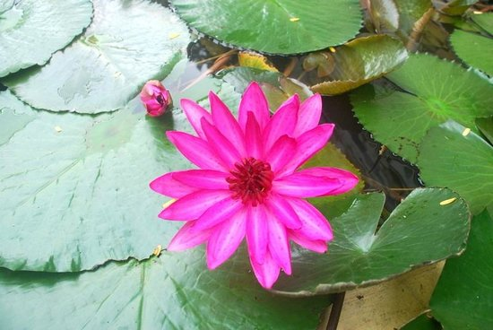 Hanu Reddy Residences Poes Garden: Lotus .... in an artificial pond
